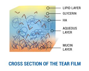 Cross section of the tear film layers